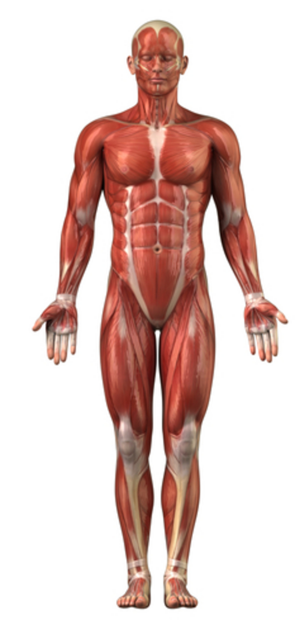 Volcano Structure Diagram Cross Section Of Stock Vector furthermore Anatomy Brain And Spinal Cord additionally Muscles Worksheet 6366426 together with Leg Muscle Diagrams moreover The Role Of The Scapula In Shoulder Impingement Syndrome Part 2. on major muscle diagram to label