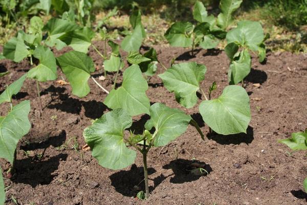 Boenneplante  COLOURBOX3470262